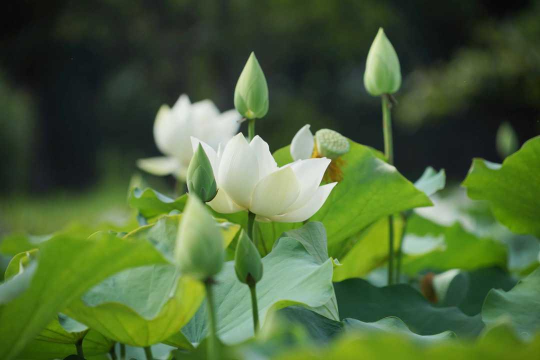 Tap chi Nghien cuu Phat hoc Bai tho hoa sen trang 1